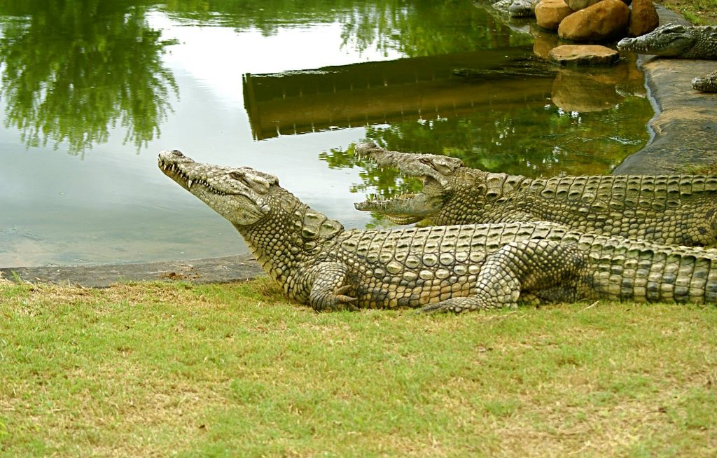 Zulu Croc-Hluhluwe- KwaZulu-Natal