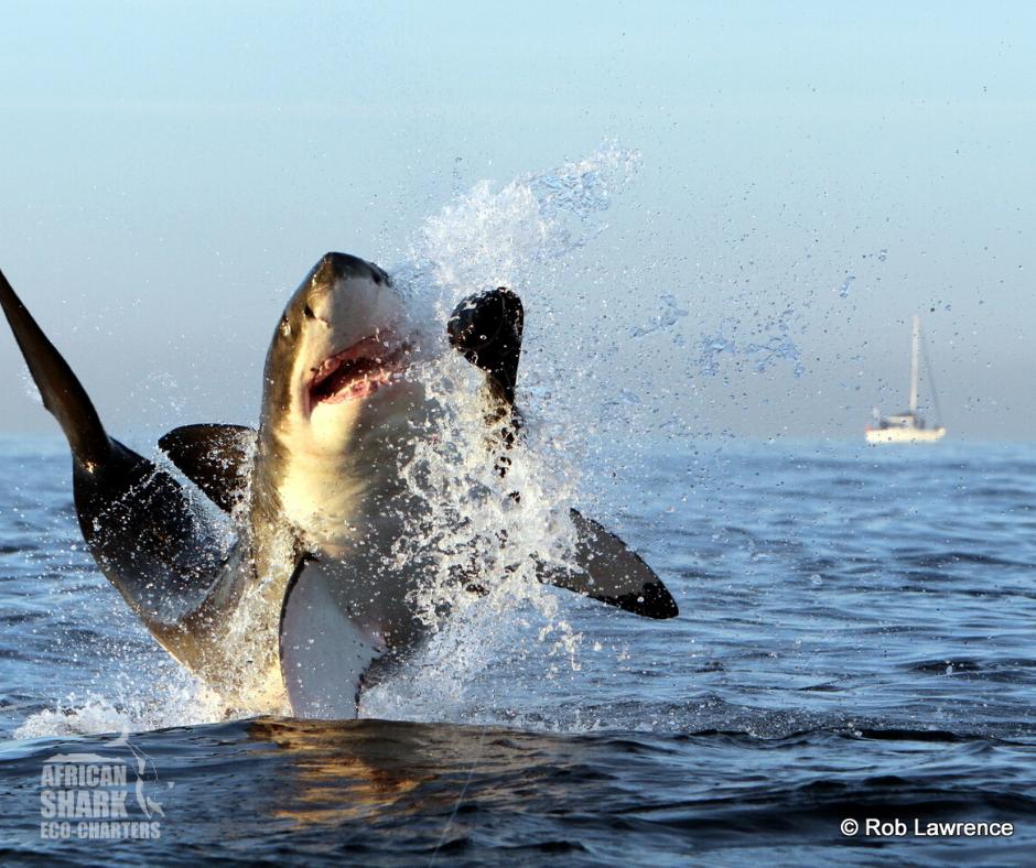 African Shark Eco-Charters